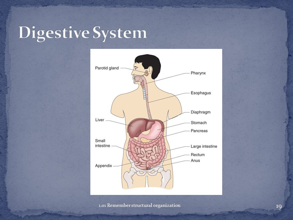 Digestive System 1.01 Remember structural organization