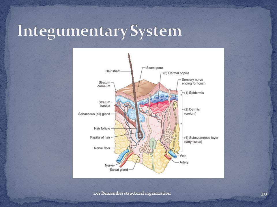 Integumentary System 1.01 Remember structural organization