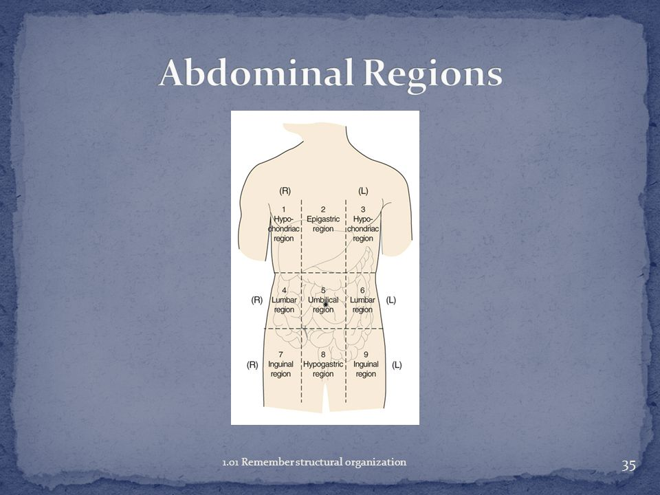 Abdominal Regions 1.01 Remember structural organization