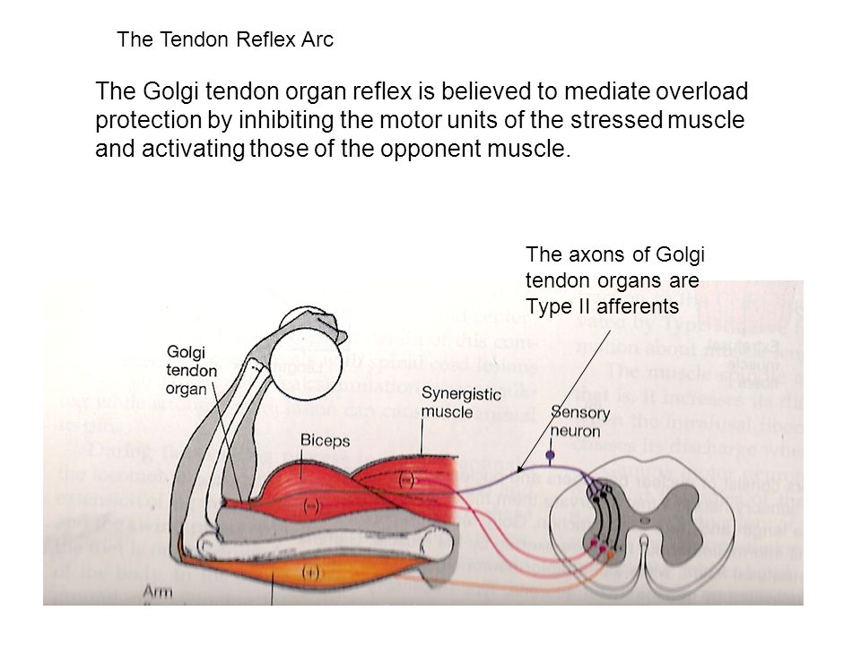 The Tendon Reflex Arc