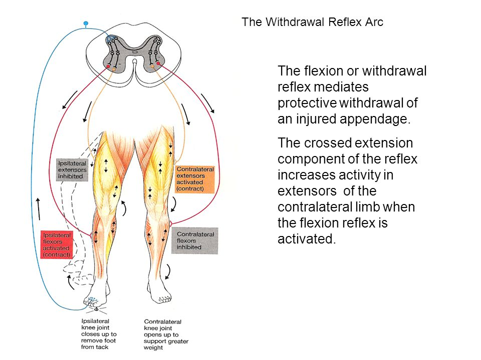 The Withdrawal Reflex Arc