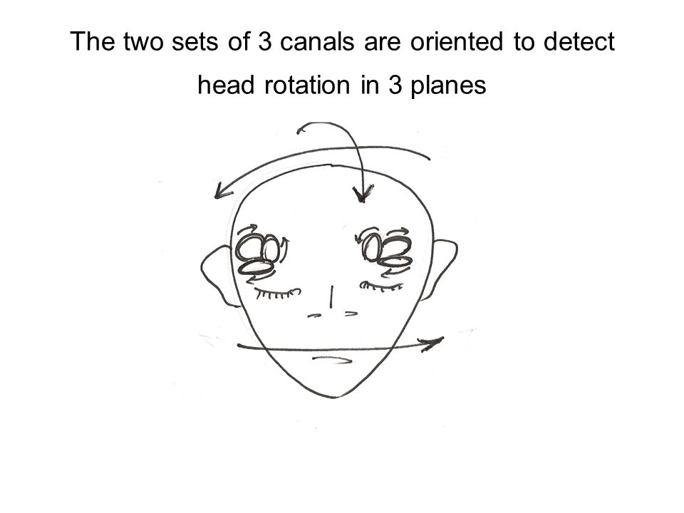 The two sets of 3 canals are oriented to detect head rotation in 3 planes