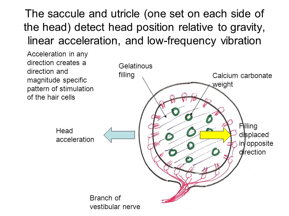 The saccule and utricle (one set on each side of the head) detect head position relative to gravity, linear acceleration, and low-frequency vibration