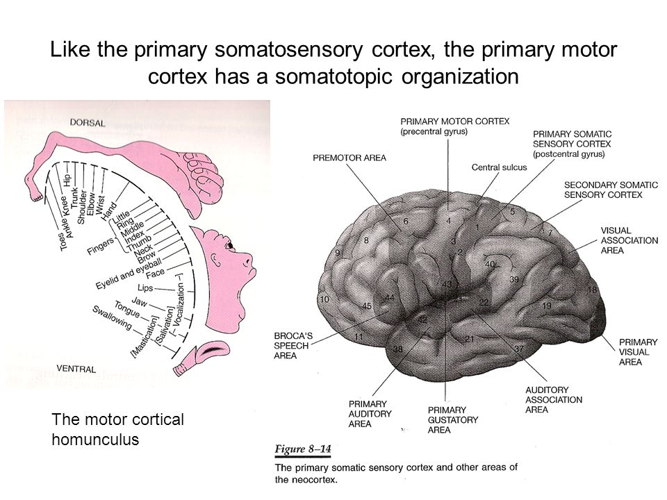Like the primary somatosensory cortex, the primary motor cortex has a somatotopic organization