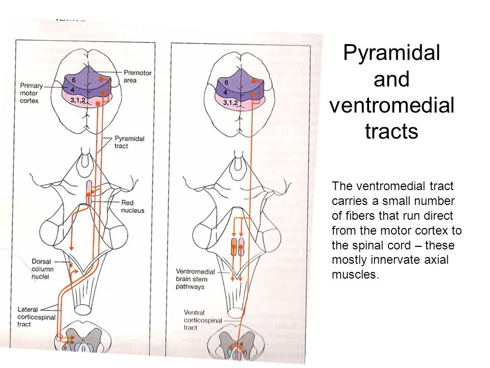 Pyramidal and ventromedial tracts