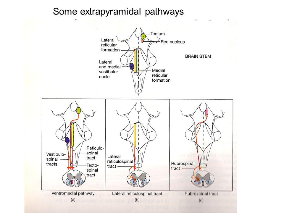 Some extrapyramidal pathways