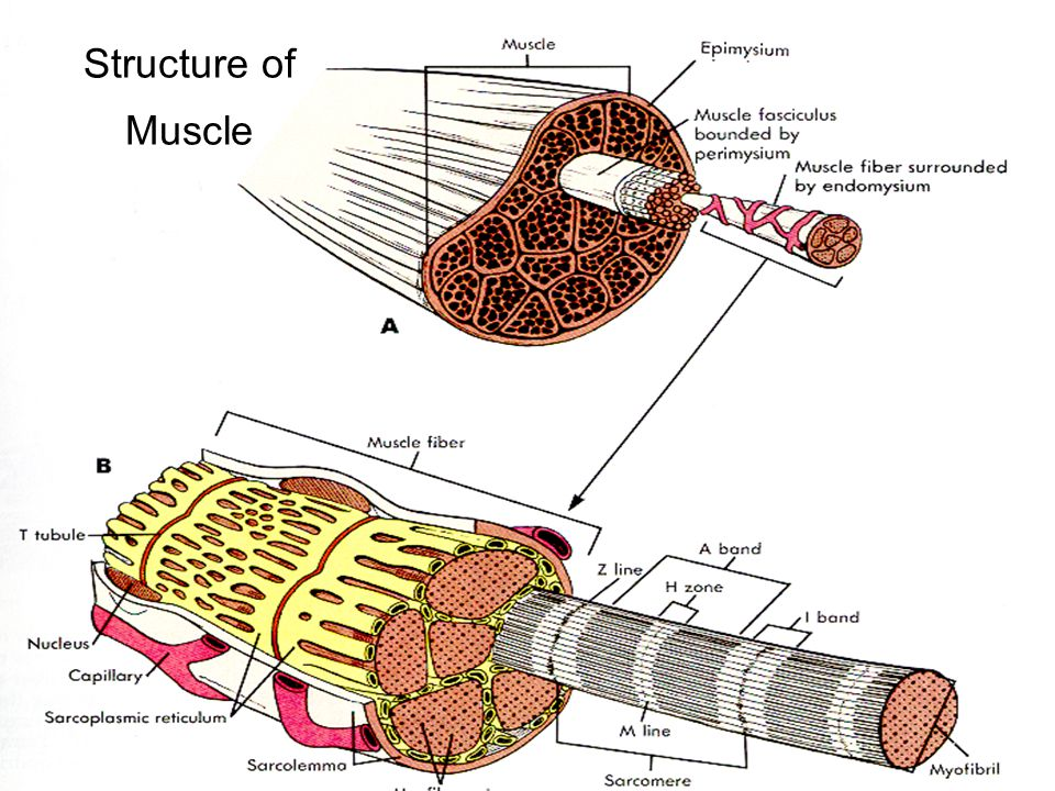 Structure of Muscle