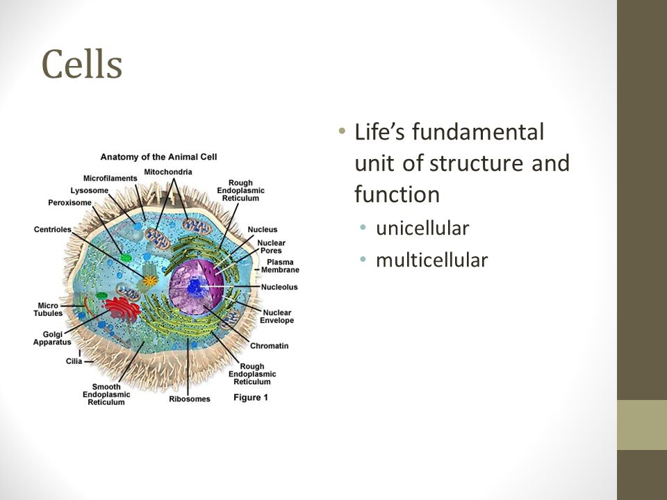 Cells Life's fundamental unit of structure and function unicellular