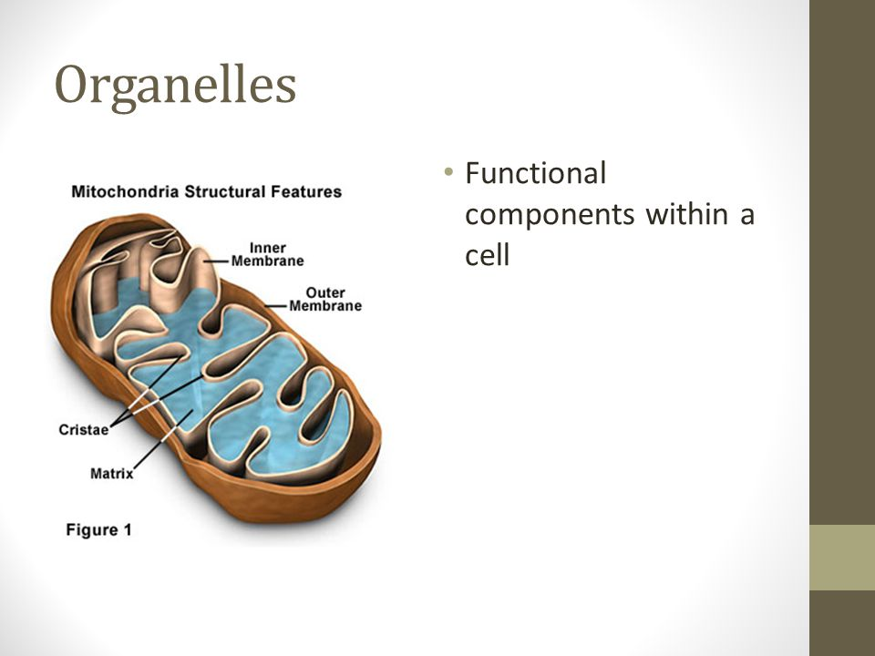 Organelles Functional components within a cell