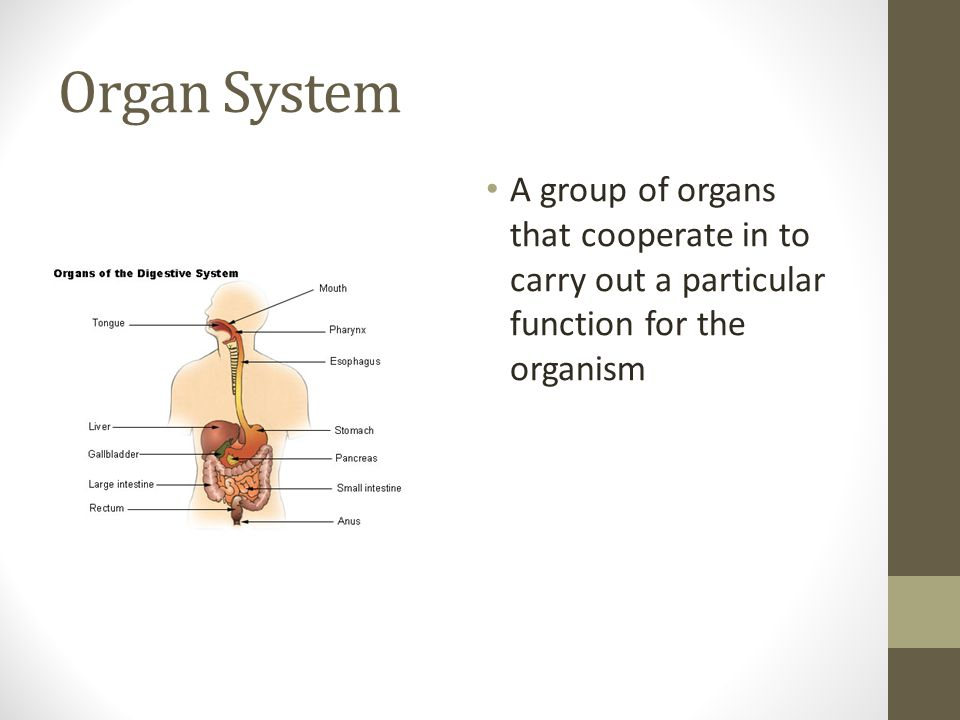 Organ System A group of organs that cooperate in to carry out a particular function for the organism.