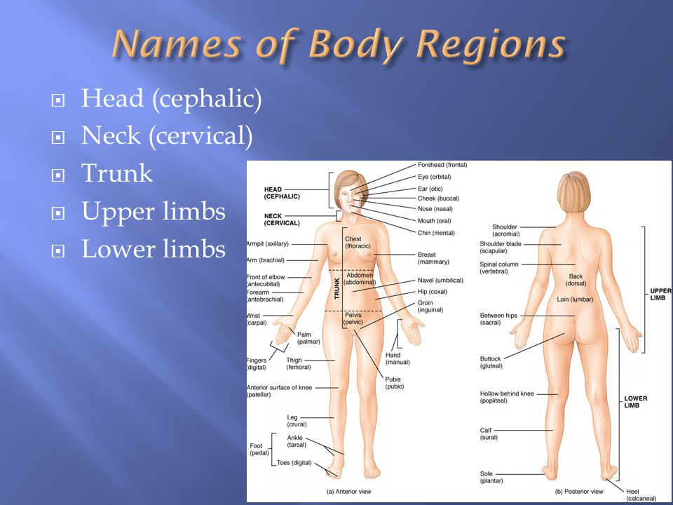 Names of Body Regions Head (cephalic) Neck (cervical) Trunk