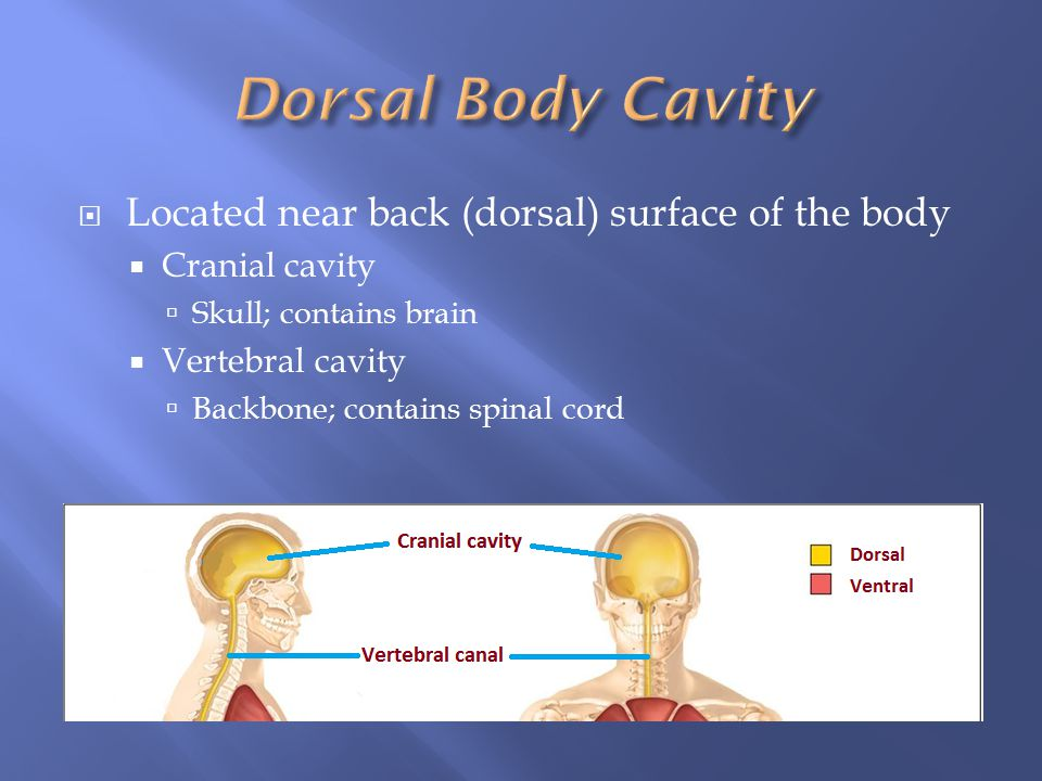 Dorsal Body Cavity Located near back (dorsal) surface of the body
