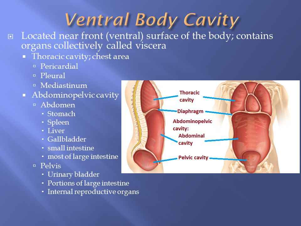 Ventral Body Cavity Located near front (ventral) surface of the body; contains organs collectively called viscera.