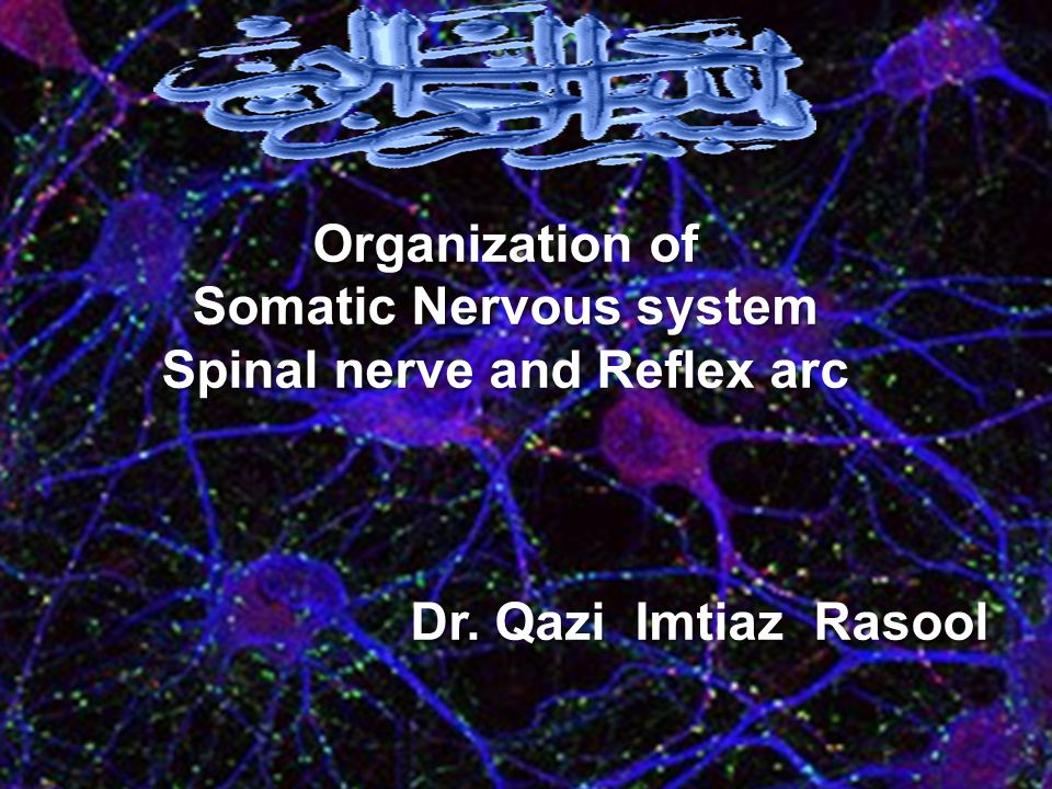 Organization of Somatic Nervous system Spinal nerve and Reflex arc. Dr