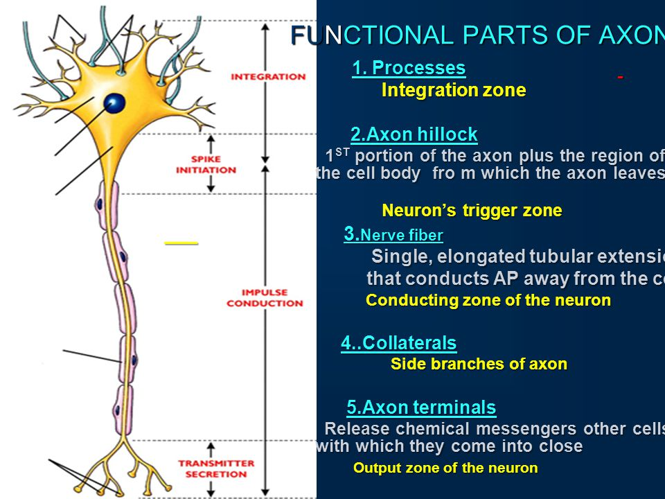 organization of somatic nervous system spinal nerve and