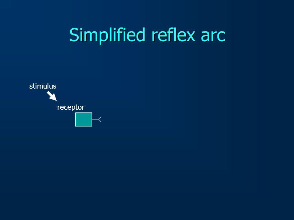 Simplified reflex arc stimulus receptor