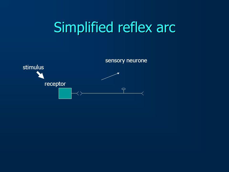 Simplified reflex arc sensory neurone stimulus receptor