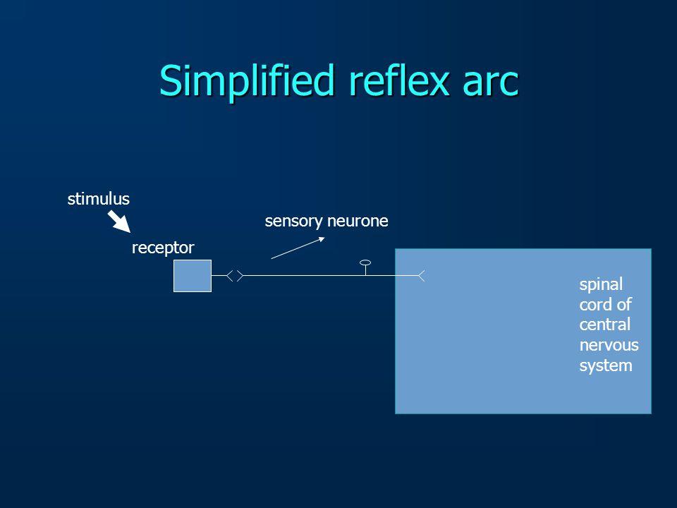Simplified reflex arc stimulus sensory neurone receptor