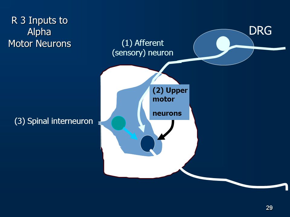 R 3 Inputs to Alpha Motor Neurons