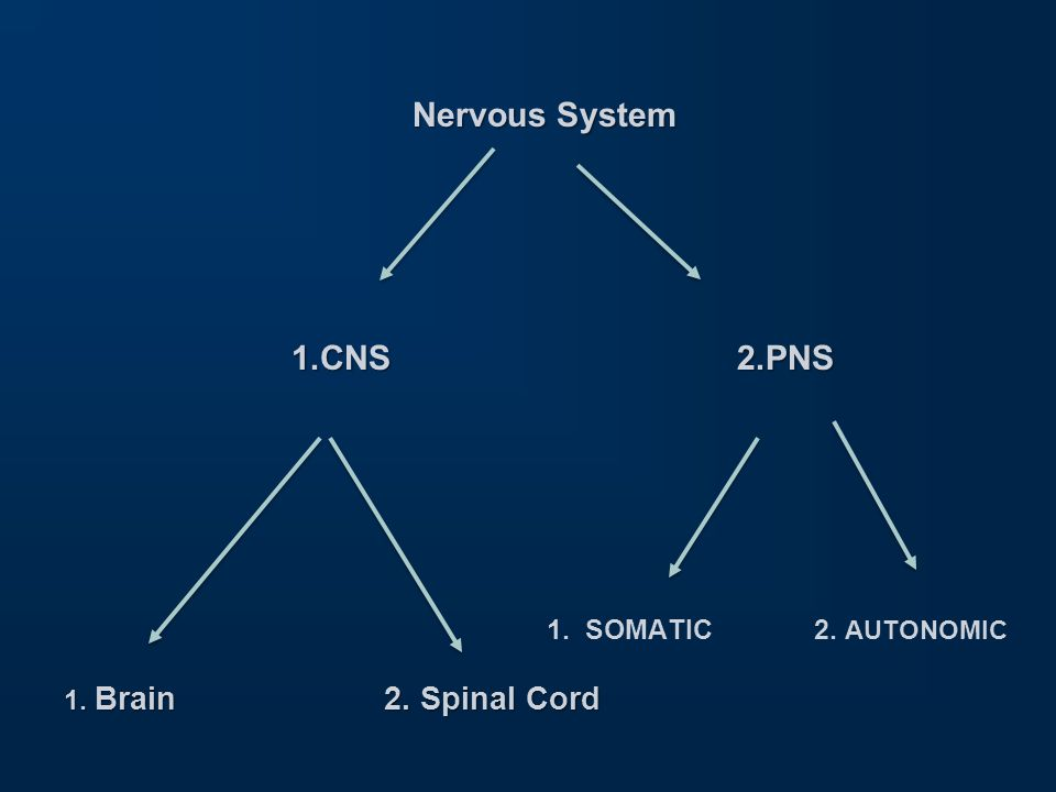 Nervous System 1.CNS 2.PNS 1. SOMATIC 2. AUTONOMIC