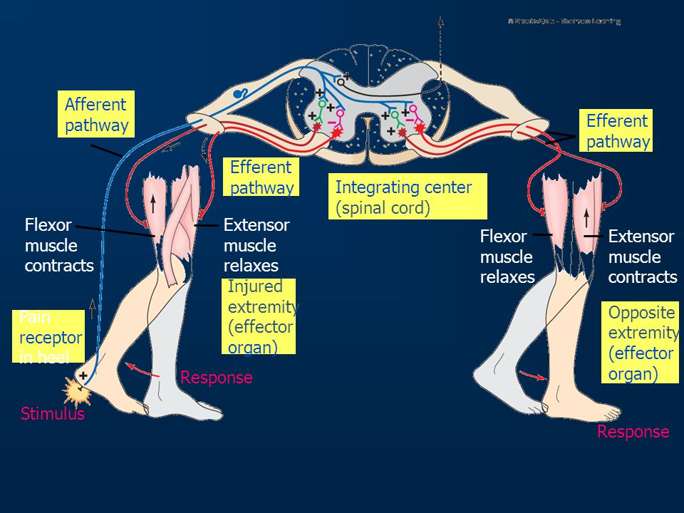 Afferent pathway. Efferent. pathway. Efferent. pathway. Integrating center. (spinal cord) Flexor.