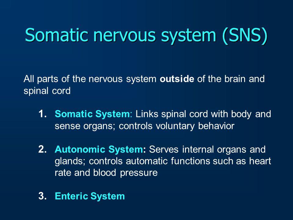 Somatic nervous system (SNS)