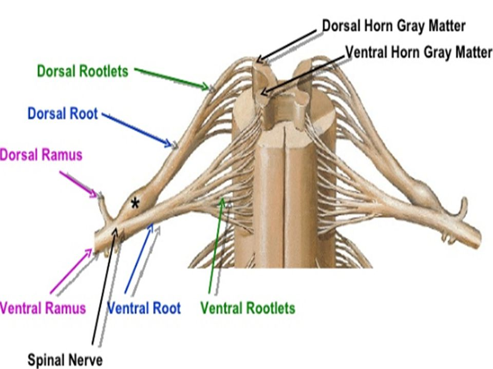 Spinal Nerve Each side of spine Dorsal and ventral roots join. To form a spinal nerve. Mixed Nerves.