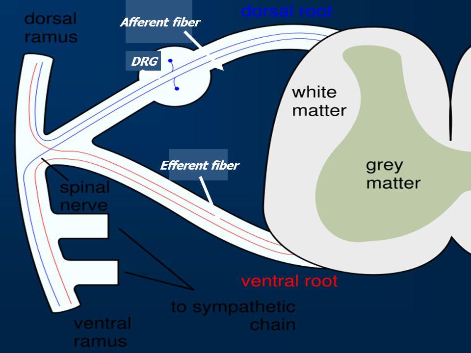 Afferent fiber DRG Efferent fiber