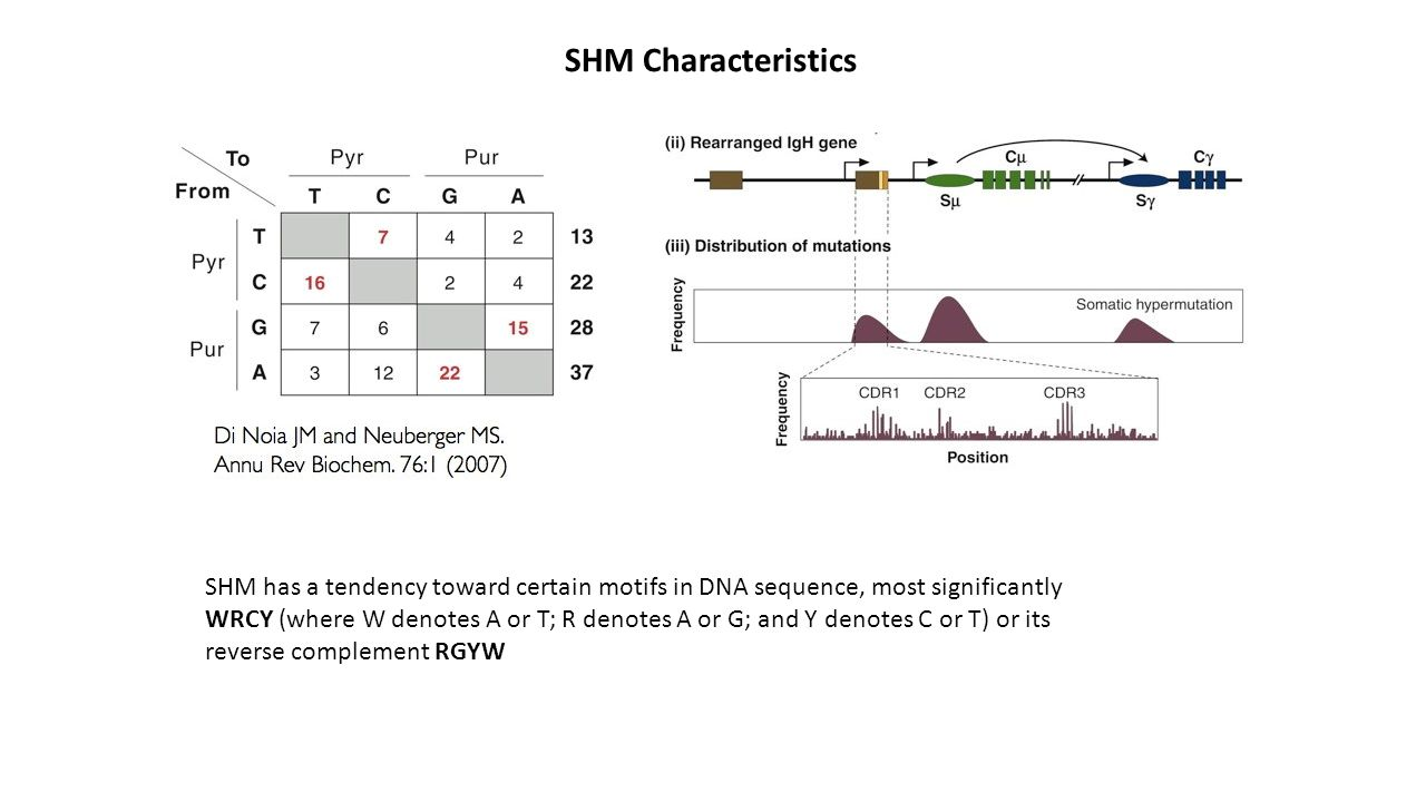 SHM Characteristics SHM has a tendency toward certain motifs in DNA sequence, most significantly.