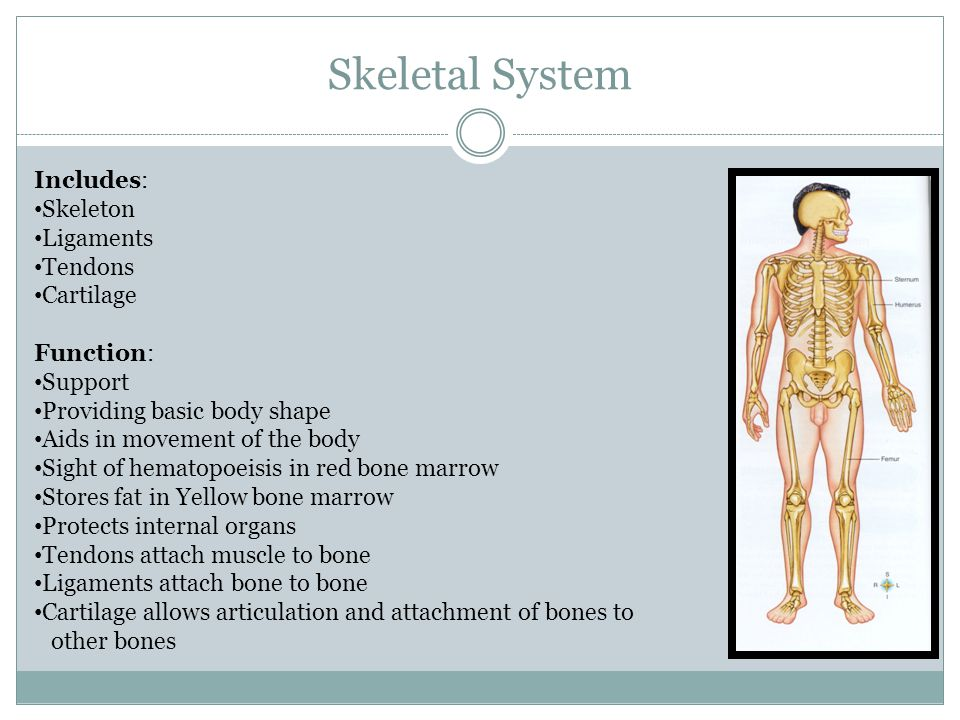 Skeletal System Includes: Skeleton Ligaments Tendons Cartilage