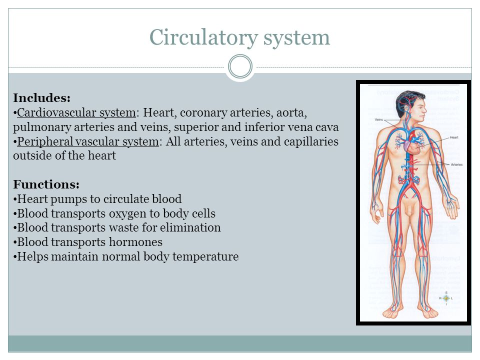 Circulatory system Includes: