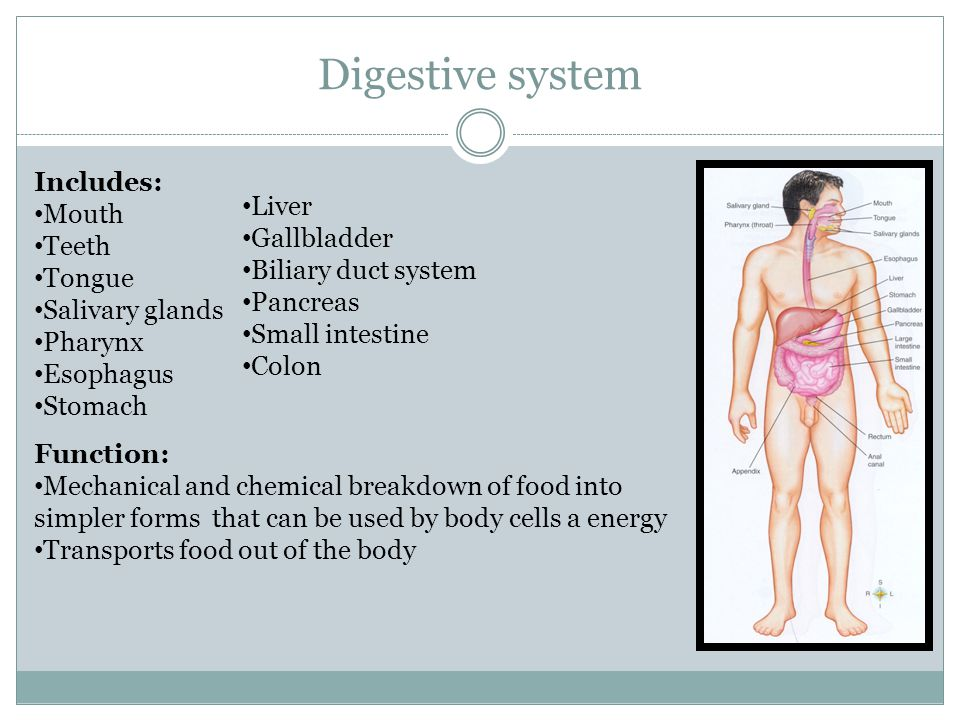 Digestive system Includes: Mouth Liver Teeth Gallbladder Tongue
