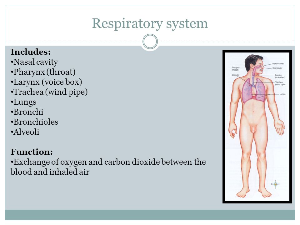 Respiratory system Includes: Nasal cavity Pharynx (throat)