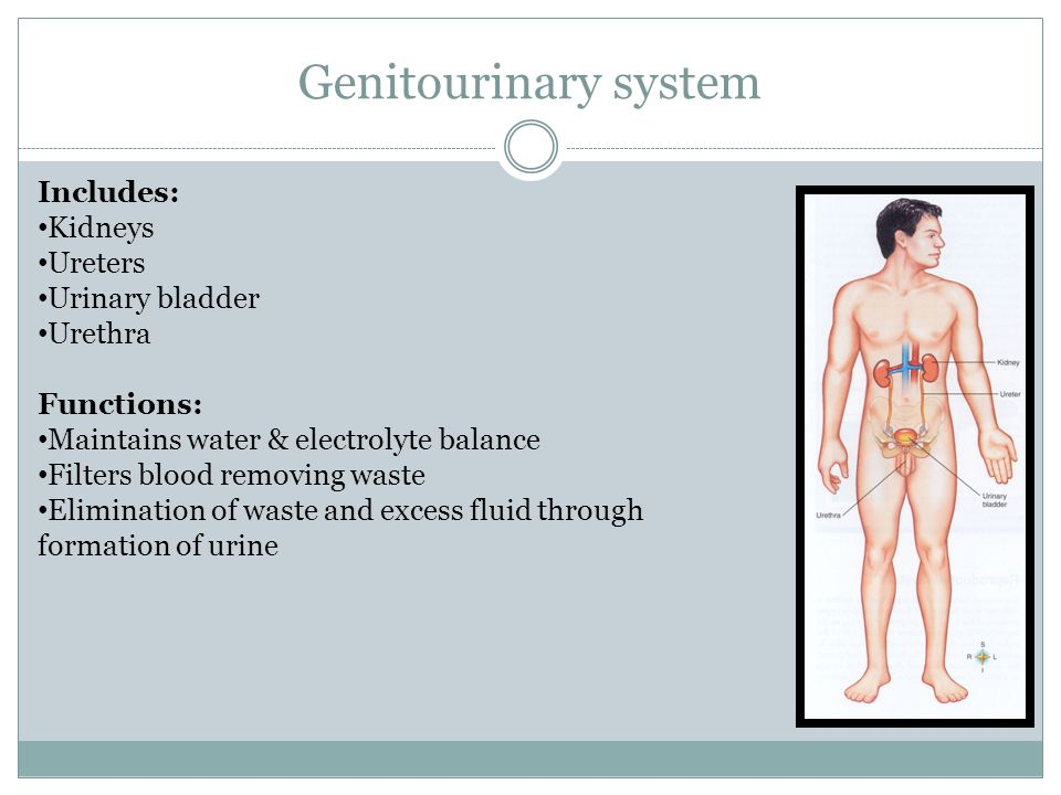 Genitourinary system Includes: Kidneys Ureters Urinary bladder Urethra