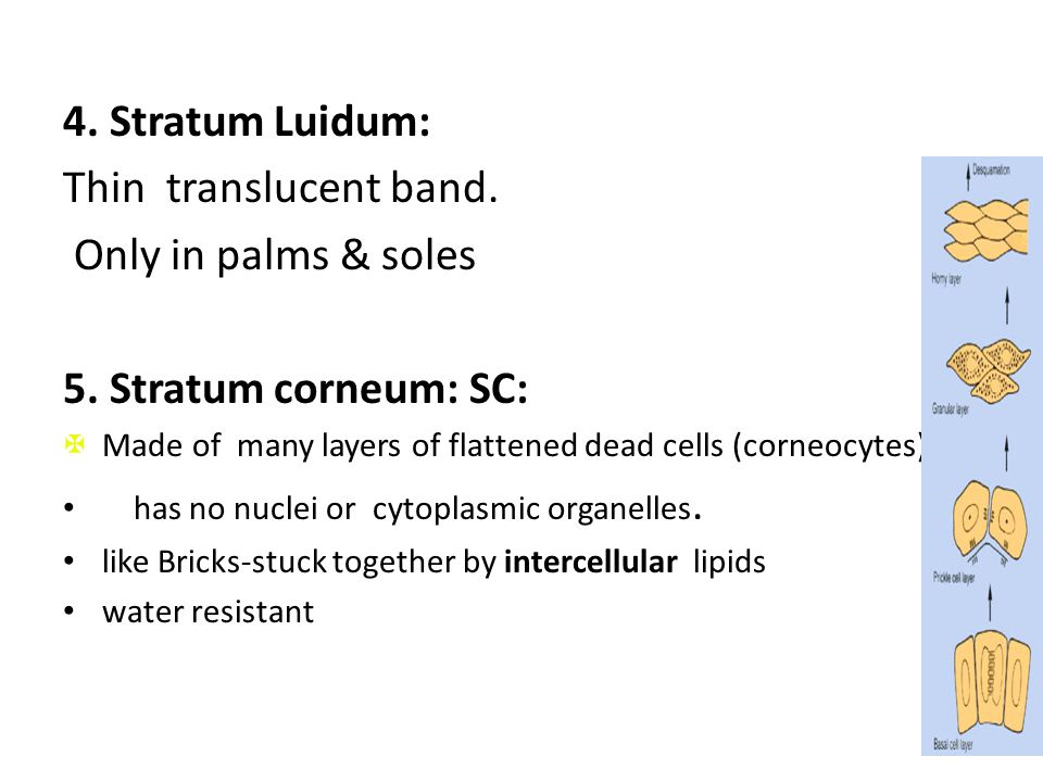 4. Stratum Luidum: Thin translucent band. Only in palms & soles