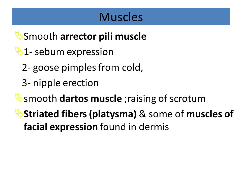 Muscles Smooth arrector pili muscle 1- sebum expression