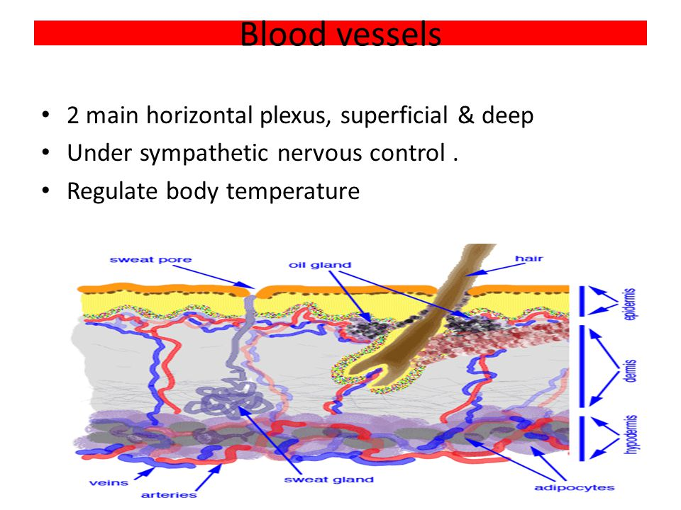 Blood vessels 2 main horizontal plexus, superficial & deep