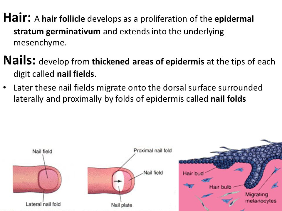Hair: A hair follicle develops as a proliferation of the epidermal stratum germinativum and extends into the underlying mesenchyme.