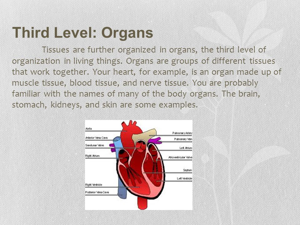 Third Level: Organs
