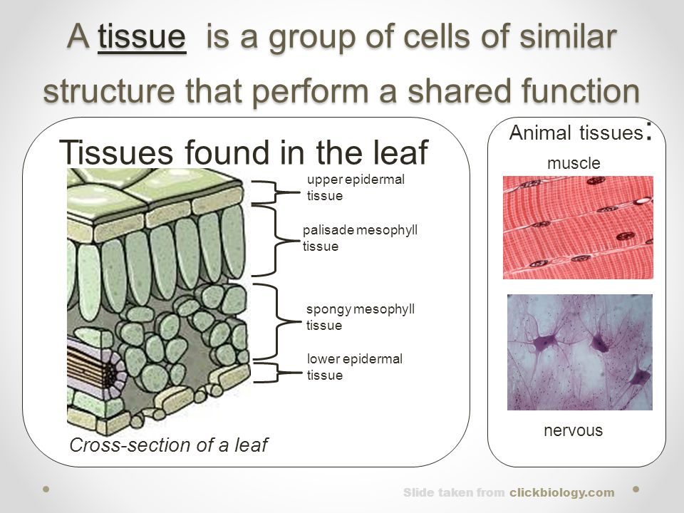 Tissues found in the leaf