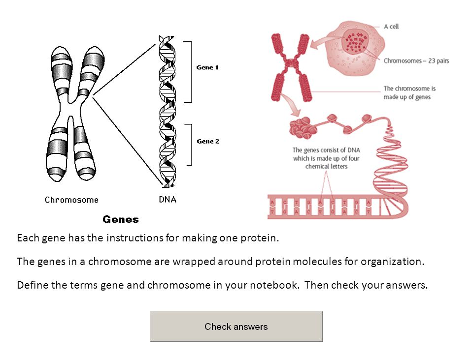 Each gene has the instructions for making one protein.