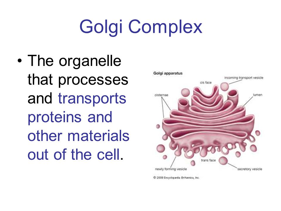 Golgi Complex The organelle that processes and transports proteins and other materials out of the cell.