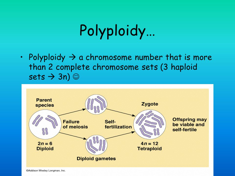 Polyploidy… Polyploidy  a chromosome number that is more than 2 complete chromosome sets (3 haploid sets  3n) 