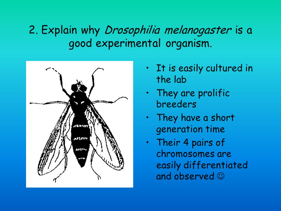 2. Explain why Drosophilia melanogaster is a good experimental organism.