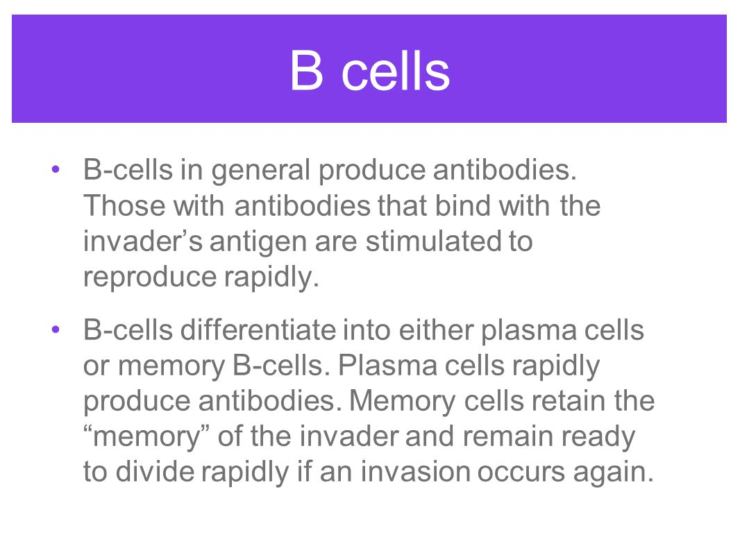 B cells B-cells in general produce antibodies. Those with antibodies that bind with the invader's antigen are stimulated to reproduce rapidly.