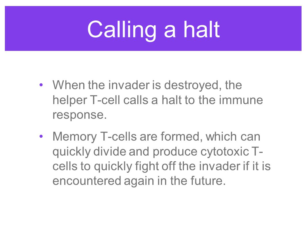 Calling a halt When the invader is destroyed, the helper T-cell calls a halt to the immune response.