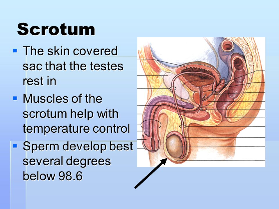 Scrotum The skin covered sac that the testes rest in