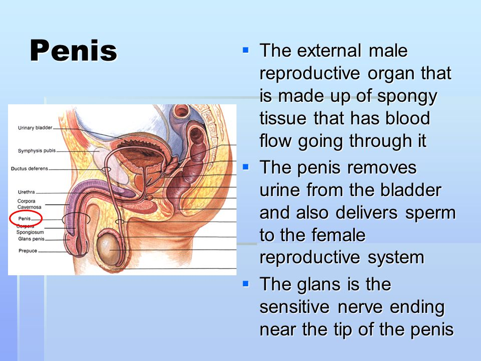 Penis The external male reproductive organ that is made up of spongy tissue that has blood flow going through it.