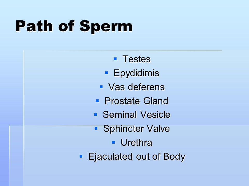 Path of Sperm Testes Epydidimis Vas deferens Prostate Gland