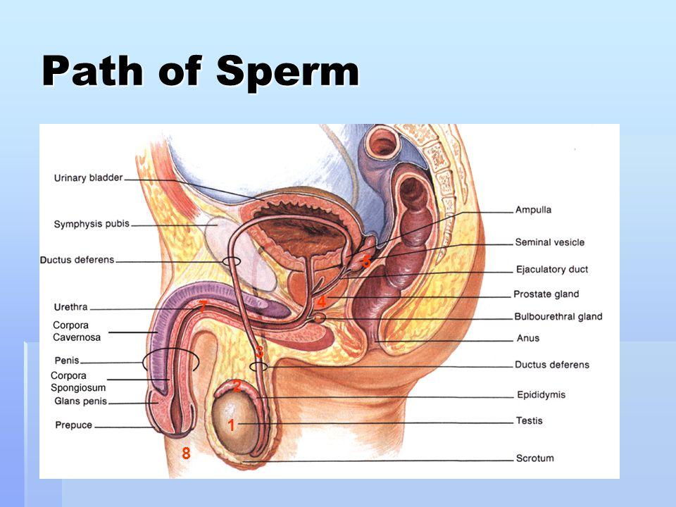 Path of Sperm 5 4 7 3 2 1 8